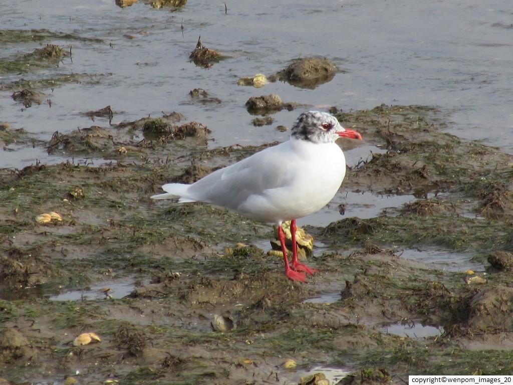 Mediterranean_Gull_larus_Melanocephalus_1