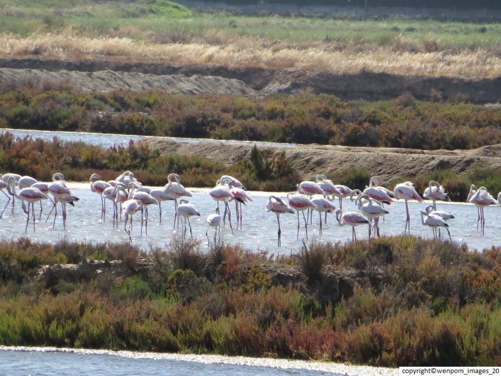 Pink_Flamingoes_on_Santa_Luzia_Salt4
